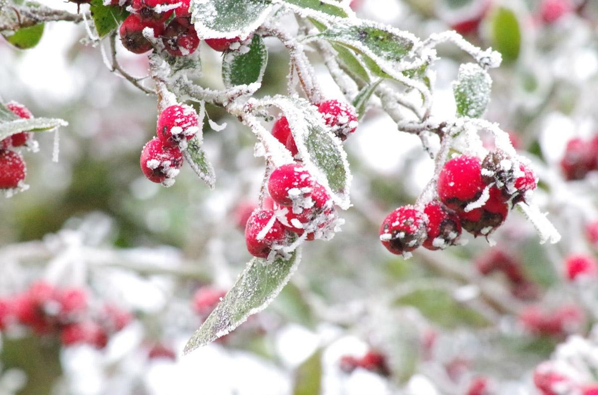 Winter hollies