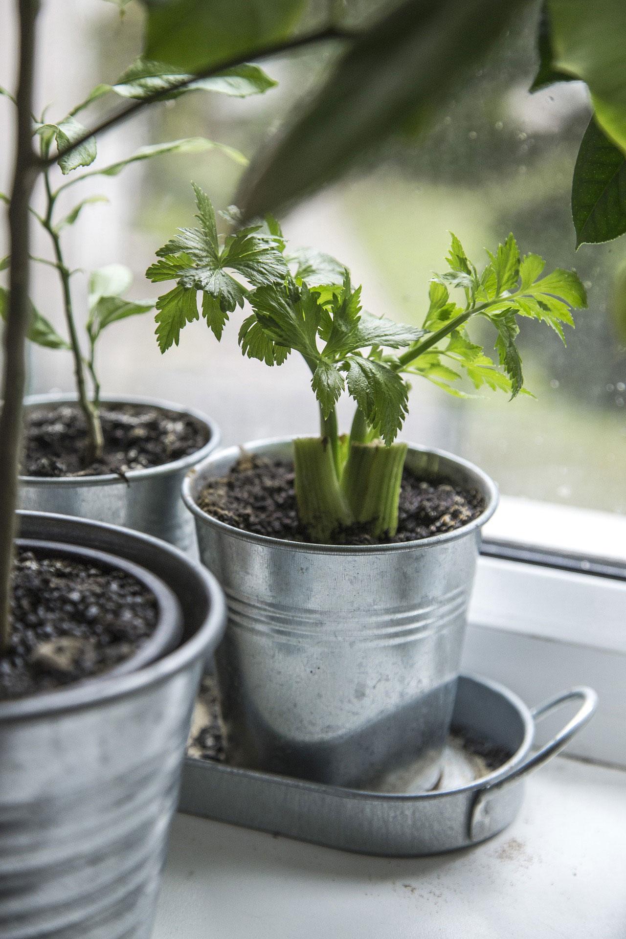 Window ledge herbs